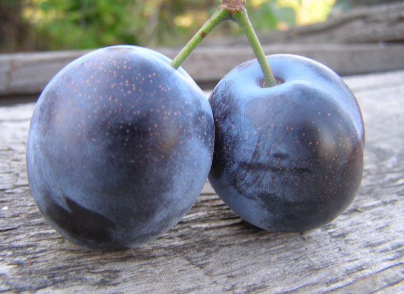 Сливово-вишневый гибрид сорт Мейнор