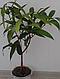 Евгения Ромовая ягода, фото 2