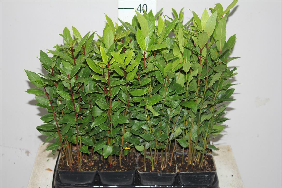 Лавр - комнатное растение