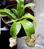 Непентес Hookeriana, фото 2