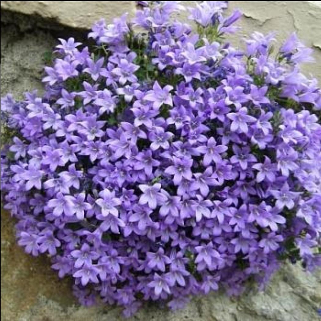 Portencshlagiana blue / подрощенное растение