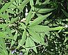 Витекс священный авраамово дерево, фото 2