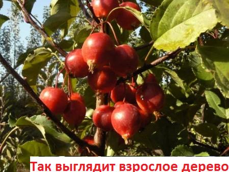 Яблоня 'Red Obelisk'