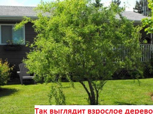 """Ива вавилонская """"Тортуоза"""""""