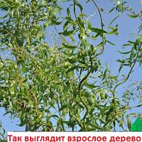 Ива Свердловская извилистая II