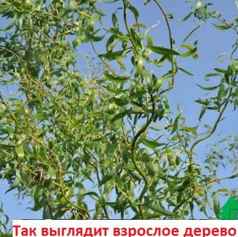 Ива Свердловская извилистая II, фото 2