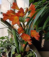 Кливия / взрослое цветущее растение