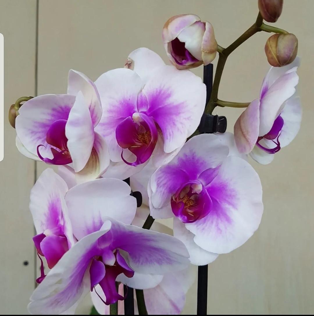 Орхидея фаленопсис (без названия сорта)