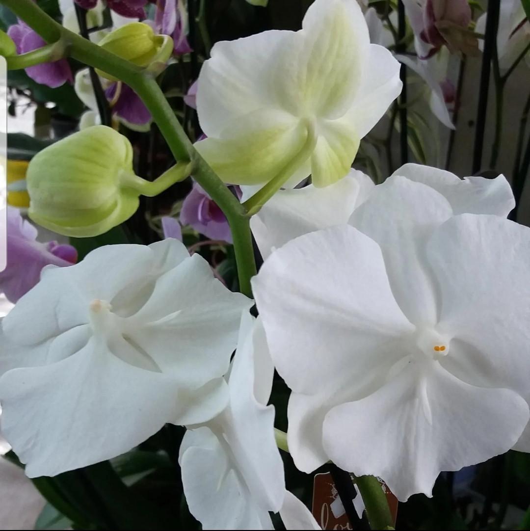 Орхидея фаленопсис Big Lip