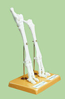 Скелет конечности овцы