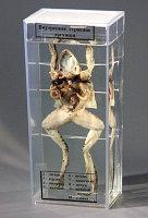 """Влажный препарат """"Внутреннее строение лягушки"""""""
