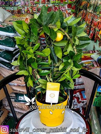 """Лимон """"Lara"""" (в пластиковом транспортировочном горшке), фото 2"""