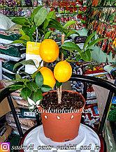 """Лимон """"Lisa"""" (в пластиковом транспортировочном горшке)"""
