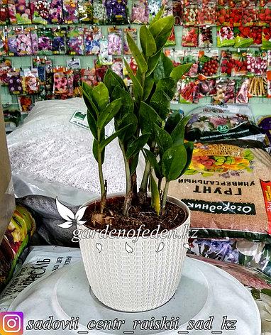 Замиокулькас - долларовое дерево (в пластиковом транспортировочном горшке), фото 2