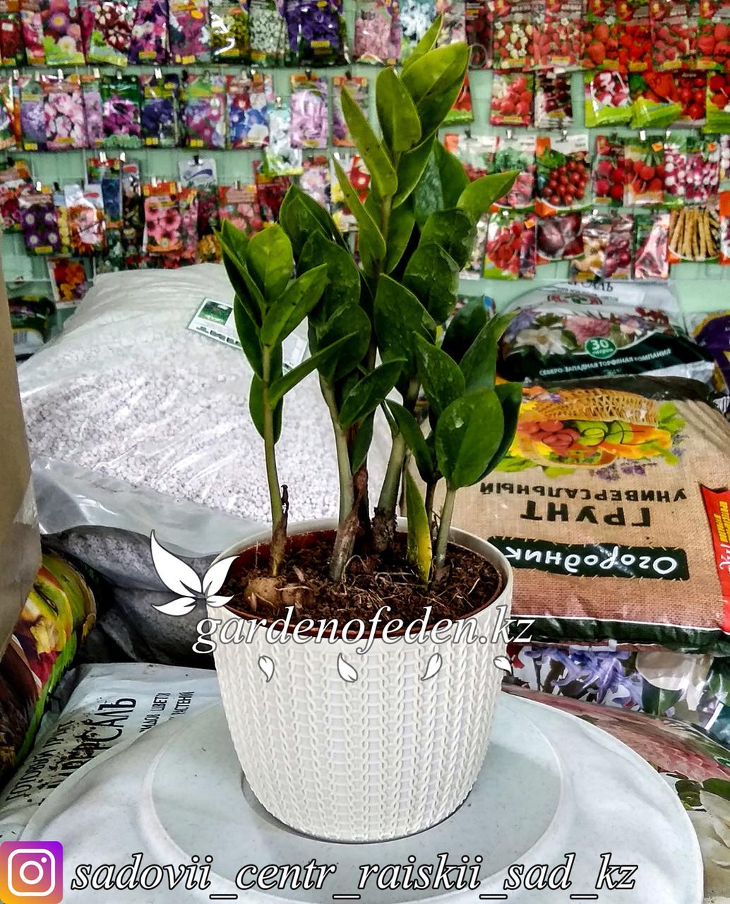 Замиокулькас - долларовое дерево (в пластиковом транспортировочном горшке)