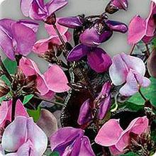 Семена гиацинтовых бобов