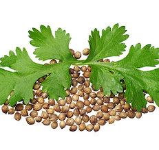 Семена кориандра (кинзы)