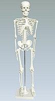 """Модель """"Скелет человека на подставке"""" (85 см)"""