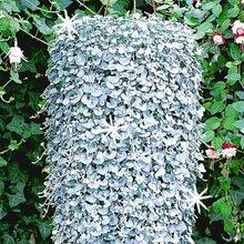 Семена дихондры