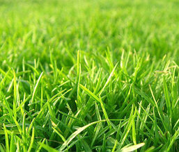 Семена газонных трав
