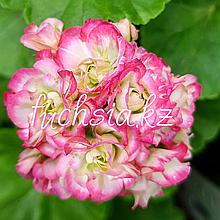 April Snow/розебуд / укор.черенок