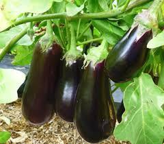 Семена баклажан Черный опал (1уп-50гр -13000шт)