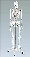Скелет человека на роликовой подставке, 170 см