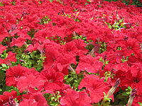 Петуния (красная, белая, розовая, бордовая, фиолетовая, голубая, бордовая с белой каймой - всего 16 пасцветок