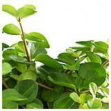 ГИМАЛАЙАМИКС Растение в горшке, различные растения, фото 4