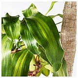 ДРАЦЕНА МАССЕНДЖЕАНА Растение в горшке, Драцена душистая, 2 стебля, фото 3