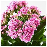 КАЛАНХОЭ Растение в горшке, Каланхоэ Блосфельда, фото 3
