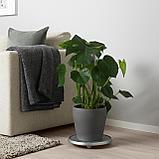 МОНСТЕРА Растение в горшке, Монстера деликатесная, фото 2