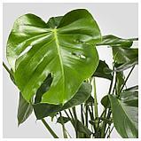 МОНСТЕРА Растение в горшке, Монстера деликатесная, фото 3