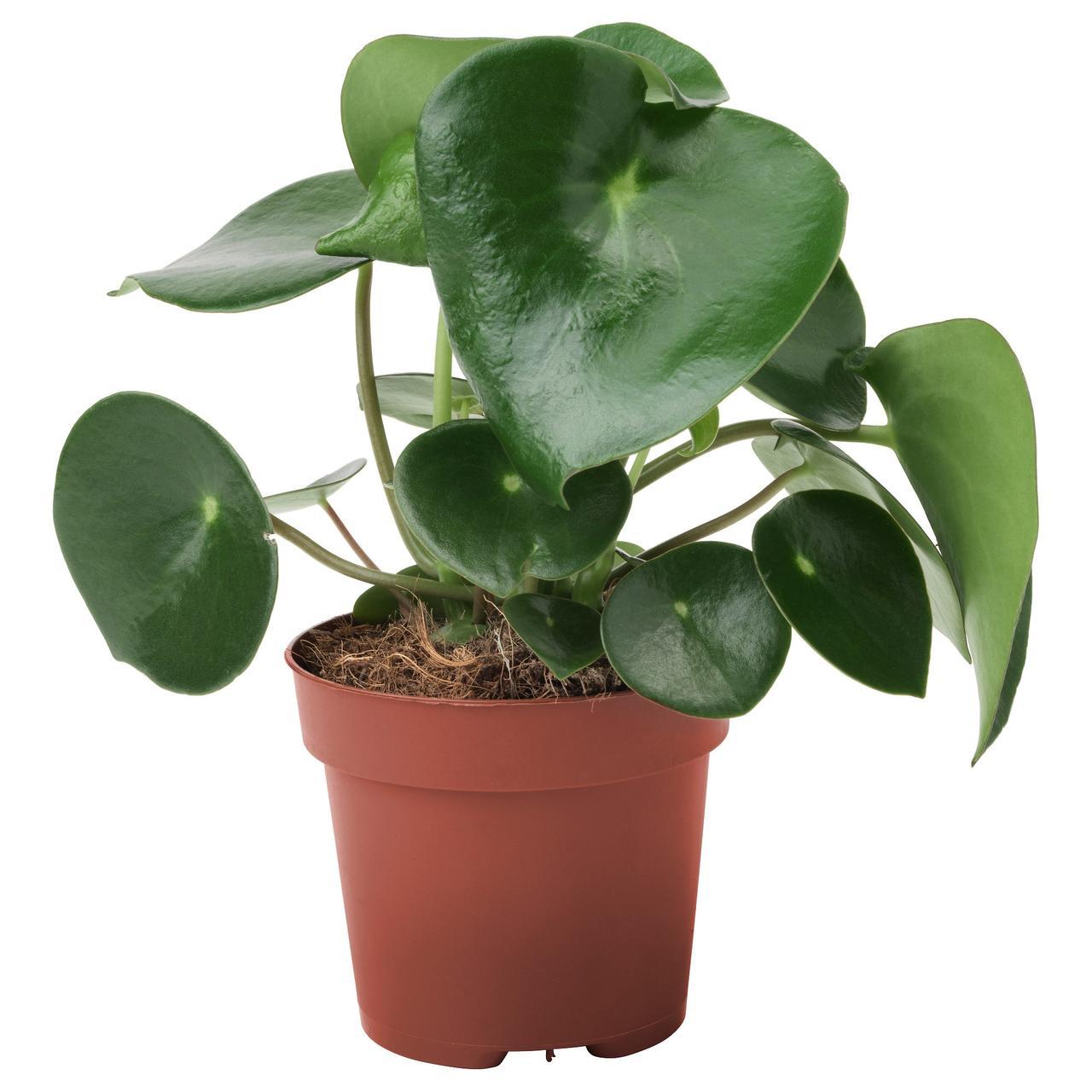ПЕПЕРОМИЯ МНОГОКИСТЕВАЯ Растение в горшке