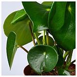 ПЕПЕРОМИЯ МНОГОКИСТЕВАЯ Растение в горшке, фото 3