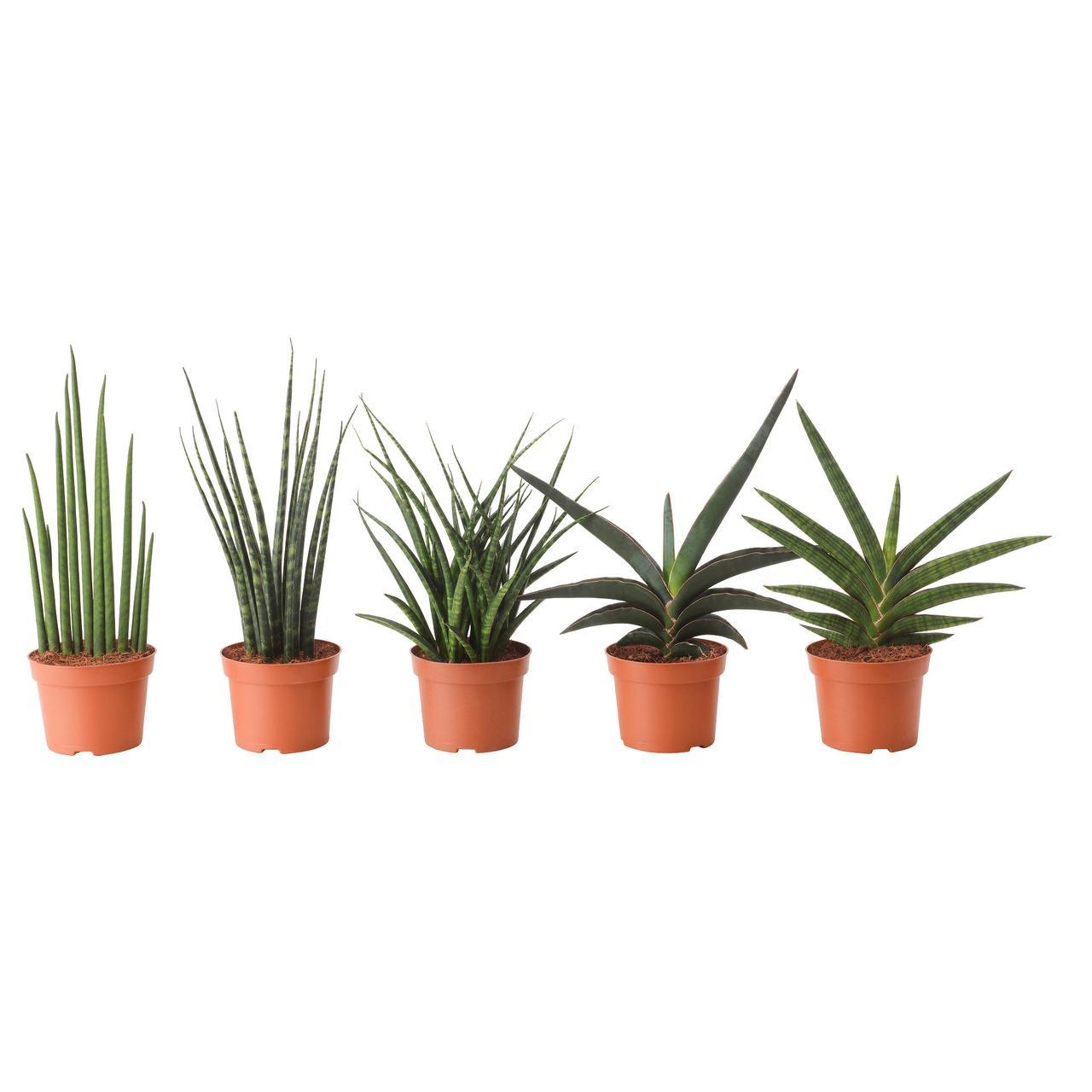САНСЕВИЕРИЯ Растение в горшке, различные растения