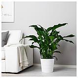 СПАТИФИЛЛУМ Растение в горшке, Спатифиллум, фото 2