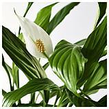 СПАТИФИЛЛУМ Растение в горшке, Спатифиллум, фото 3