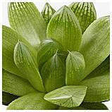 СУККУЛЕНТЫ Растение в горшке, различные растения, фото 2