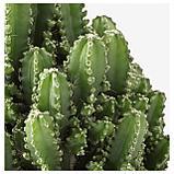 ЦЕРЕУС ПЕРУАНСКИЙ Растение в горшке, без колючек, фото 4