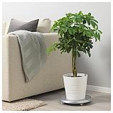 ШЕФФЛЕРА АРБОРИКОЛА Растение в горшке, Шефлера древесная, перекрученный стебель, фото 2