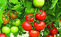 Семена томат Океан F1 500 шт