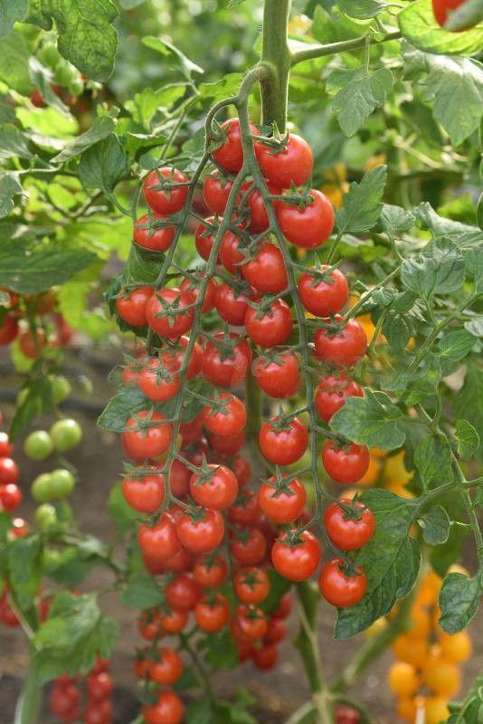 Семена томат Эльф F1 1000 шт