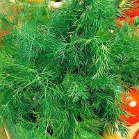 Семена укроп Аллигатор (1 уп-50 гр)