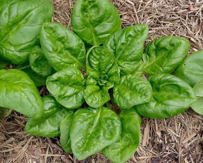 Семена шпинат Матадор фракция 3,5-4,5 мм (1 уп-500 гр-55000 шт)