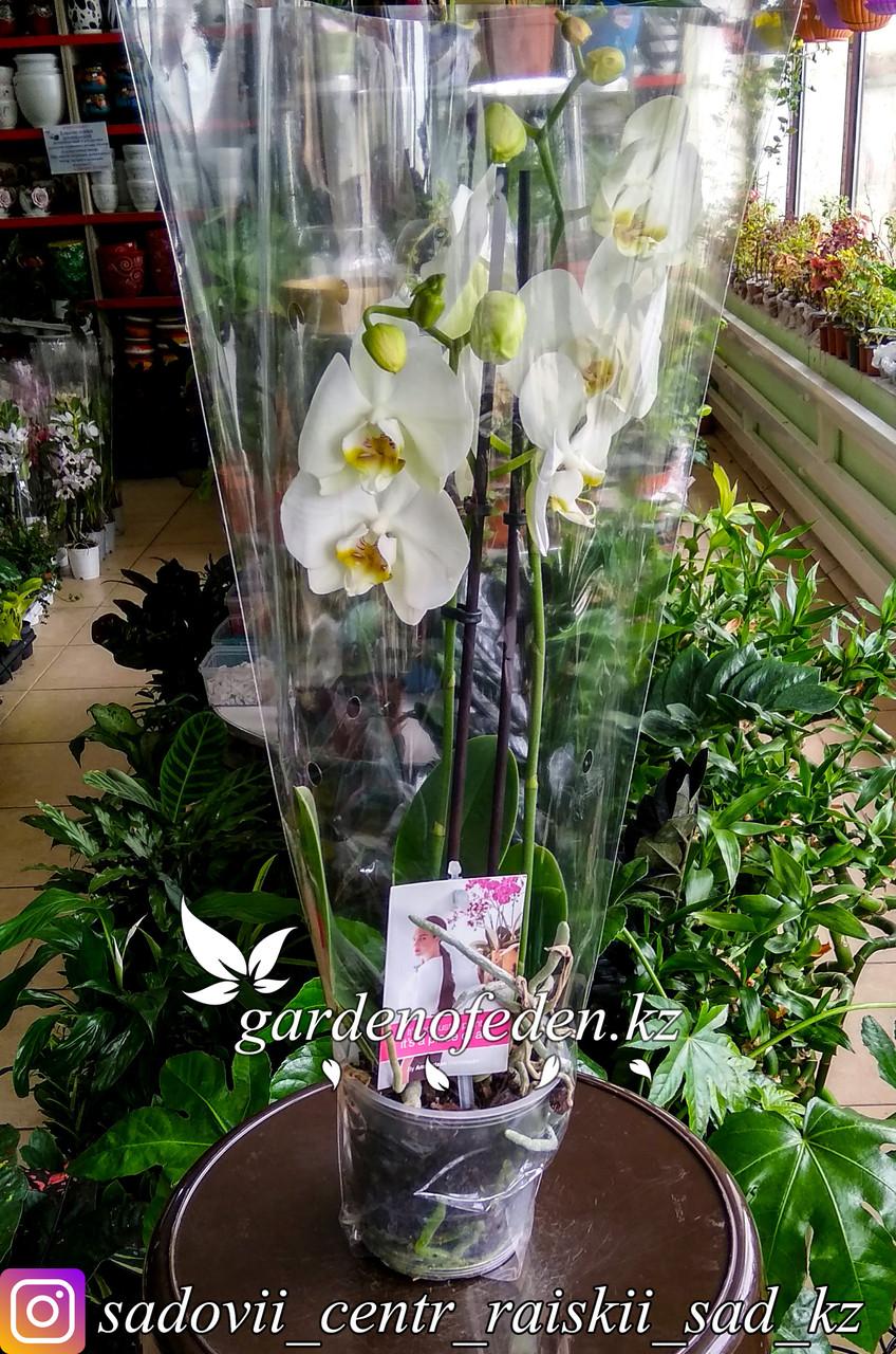 """Орхидея """"Фаленопсис"""" (в пластиковом транспортировочном горшке, под  стеклом)"""