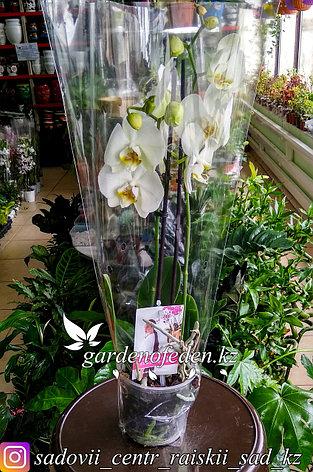 """Орхидея """"Фаленопсис"""" (в пластиковом транспортировочном горшке, под  стеклом), фото 2"""