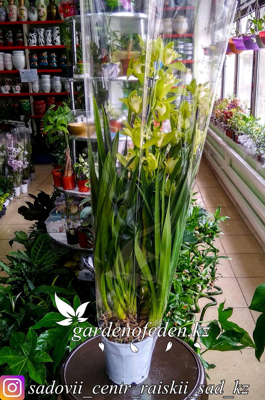 """Орхидея """"Цимбидиум"""" (в пластиковом транспортировочном горшке, под  стеклом)"""