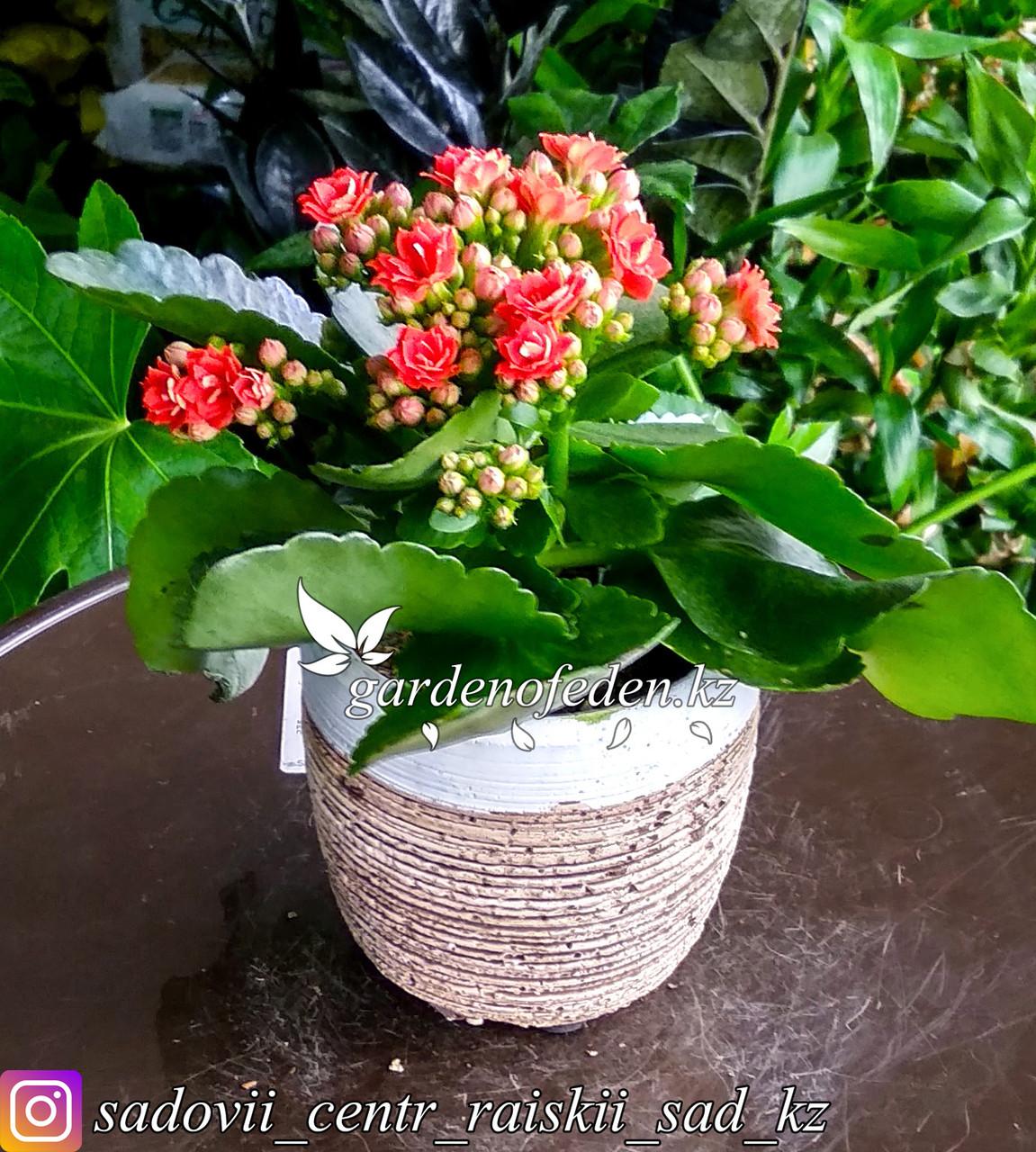 Каланхоэ (в декоративной, керамической вазочке)