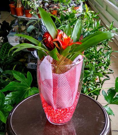 Гузмания – материнское сердце (в стеклянной вазе с декором), фото 2